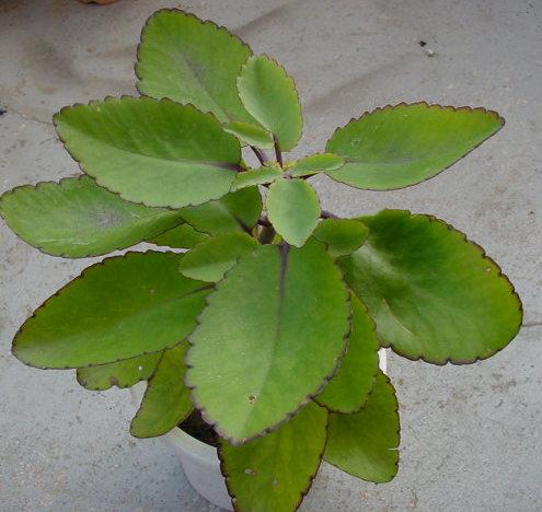 Setawar - Kalanchoe pinnata