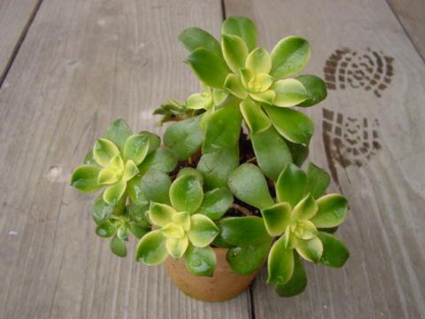 Aeonium decorum f.variegata