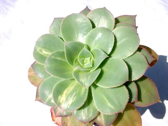 Aeonium urbicum 'Moonburst'