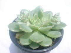 Echeveria cv. Californica