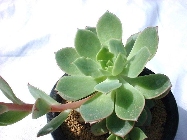 Echeveria cv. Derenoriver の写真