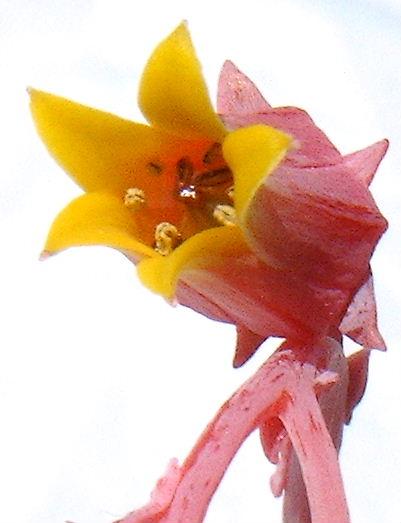 Echeveria elegans flower