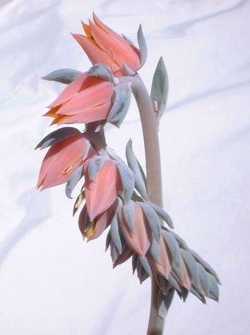 Echeveria subsessilis flower