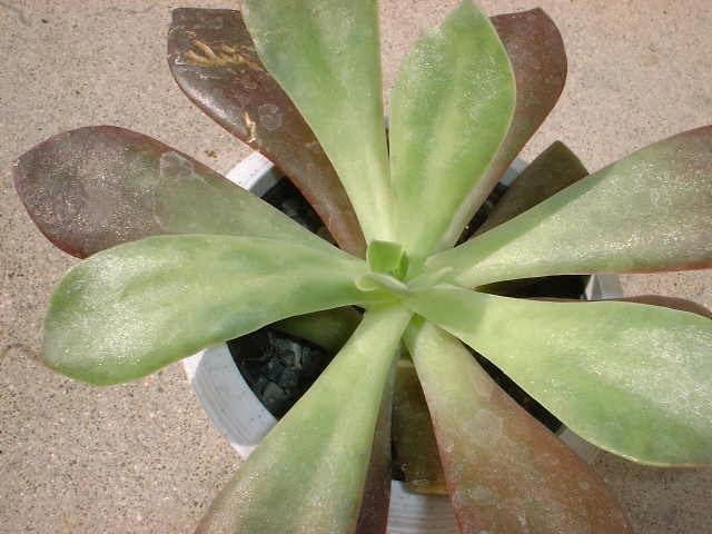 Echeveria fasciculata の写真
