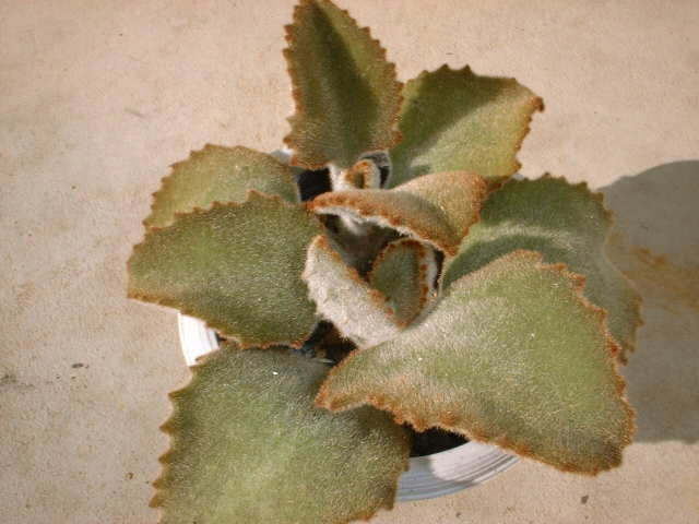 Kalanchoe behalensis 'Fang'