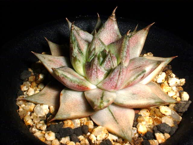 Echeveria purpusorum f. variegata の写真