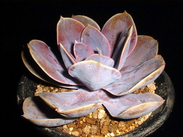 Echeveria cv. Peale von Nurnberg