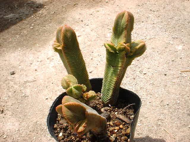 Crassula pyramidalis 大型緑塔