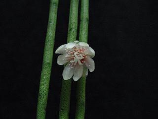 Lepismium puniceo-discus flower