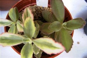 Coleus pentheri varieg.