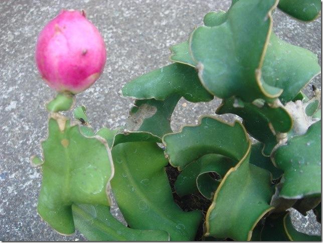 Epiphyllum phyllanthus guatemalense 'Monstruosa'