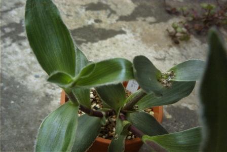 Tradescantia crassifolia の写真
