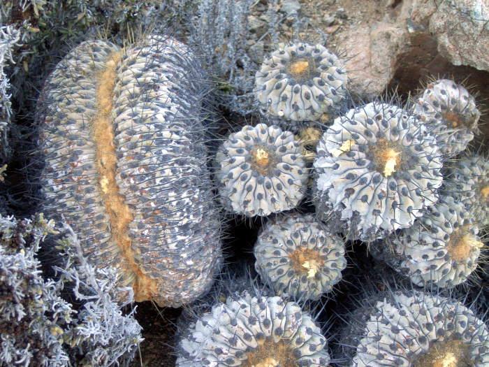 Copiapoa haseltoniana cristata in habitat