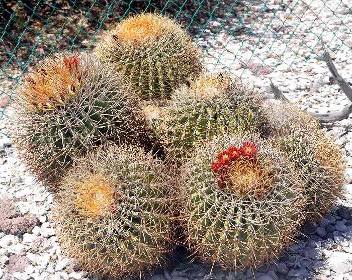 Ferocactus diguetii var. carmenensis in habitat