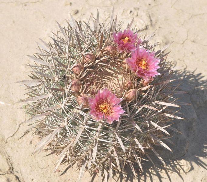 Ferocactus fordii in habitat