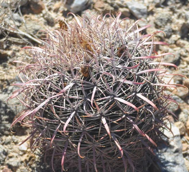 Ferocactus gatesii