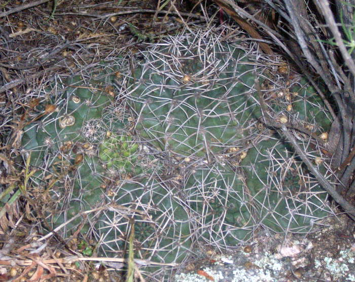 Gymnocalycium capillaense