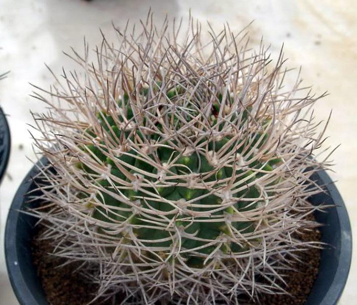 Gymnocalycium guanchinense