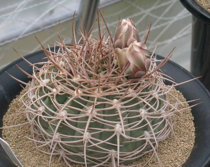 Gymnocalycium nidulans
