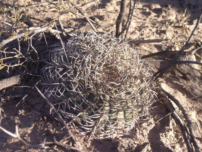 Gymnocalycium pugionacanthum in habitat