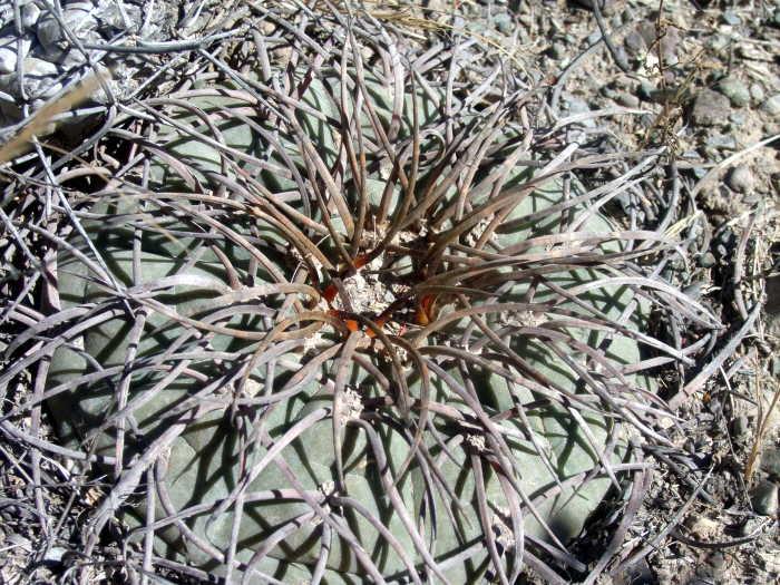Gymnocalycium spegazzinii var.major type A in habitat