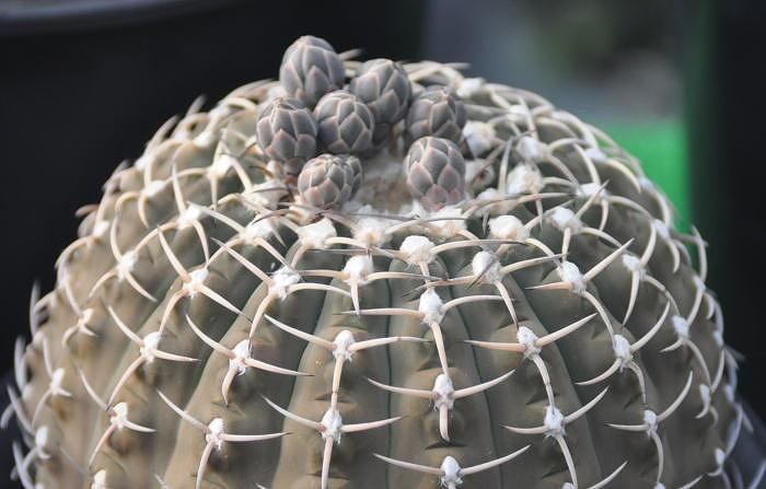 Gymnocalycium triacanthum