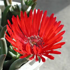 Cephalophyllum alstonii flower