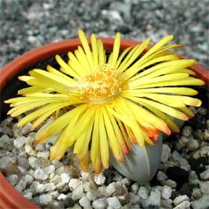 Lapidaria margaretae flower