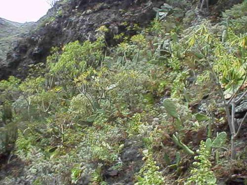 Aeonium canariense in habitat