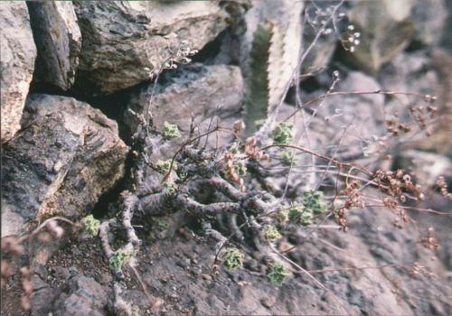 Aeonium smithii in habitatの写真