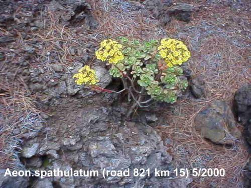 Aeonium spathulatum in habitatの写真