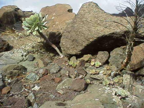 Aeonium urbicum in habitatの写真