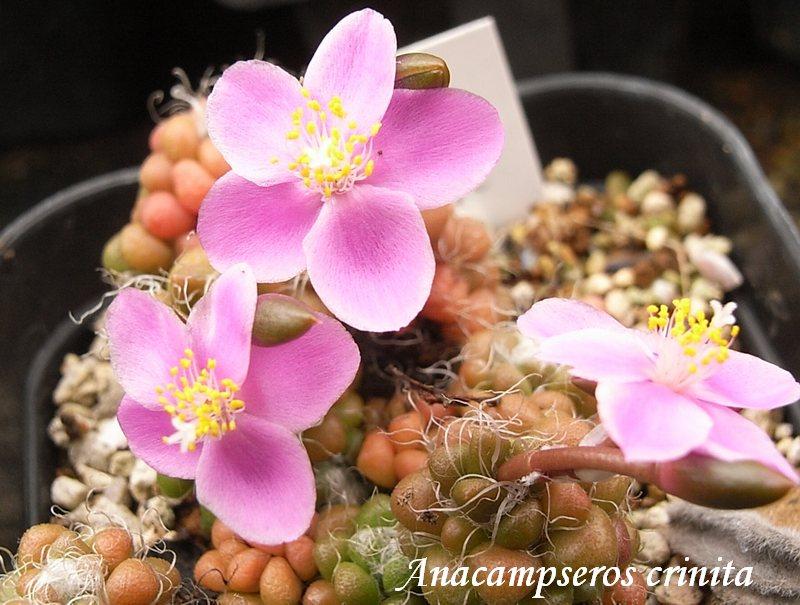 Anacampseros crinita flower