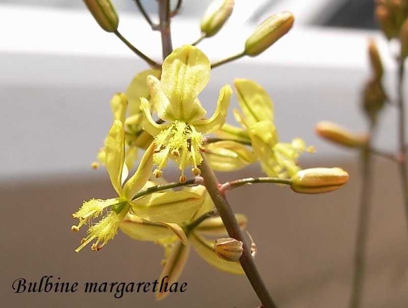 Bulbine margarethae flower