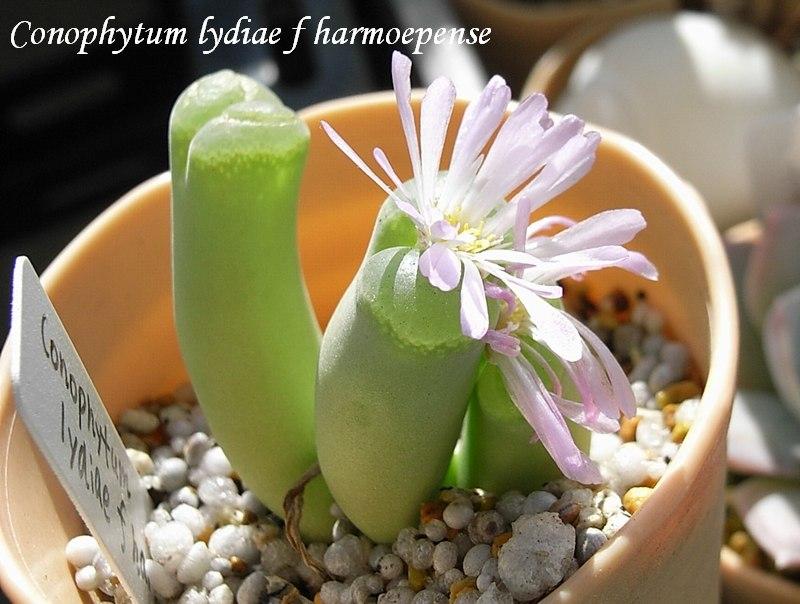 Conophytum lydiae f. haramoepense