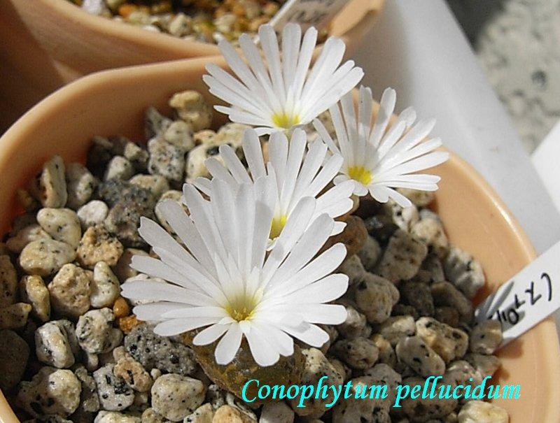Conophytum pellucidum flower