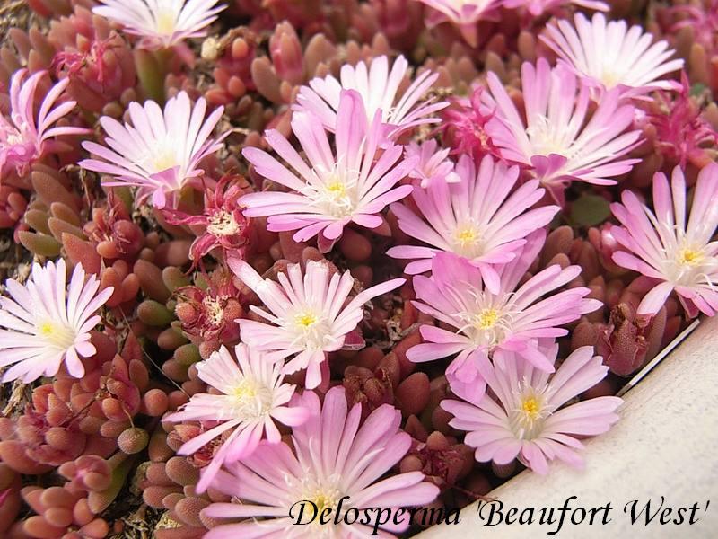Delosperma  'Beaufort West'