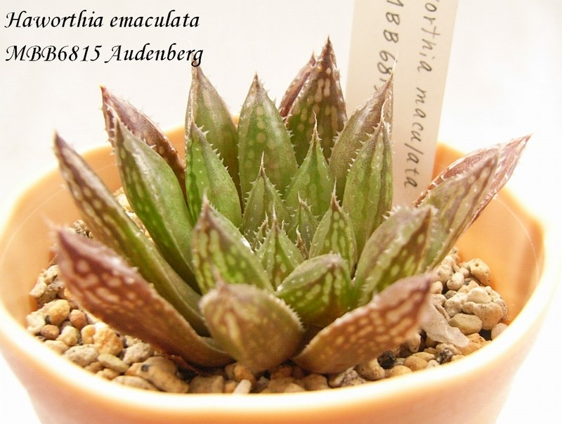Haworthia emaculata