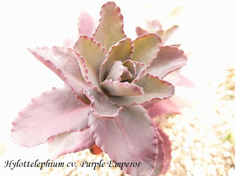 Hylottelephium  'Purple Emperor'