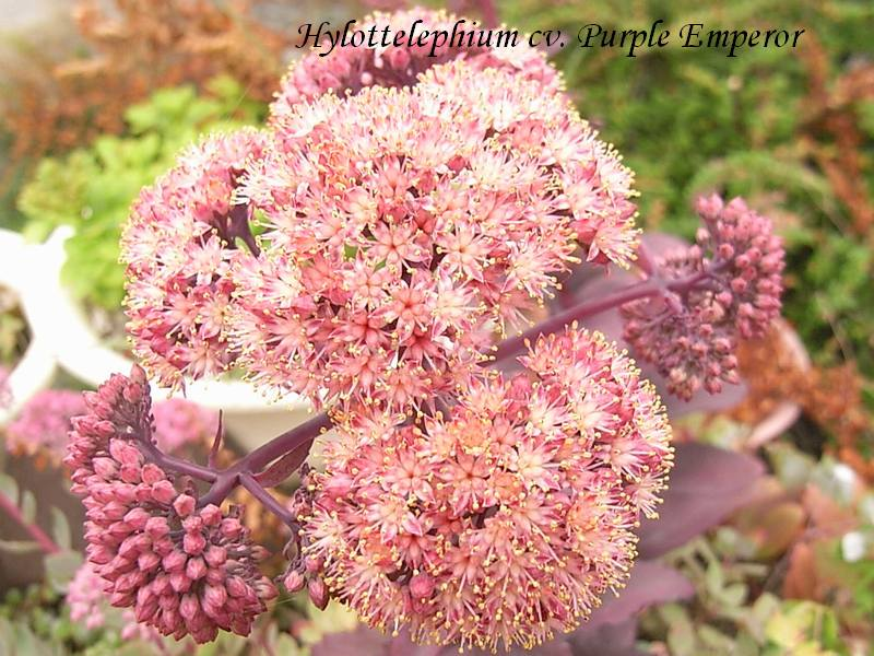 Hylottelephium  'Purple Emperor' flower