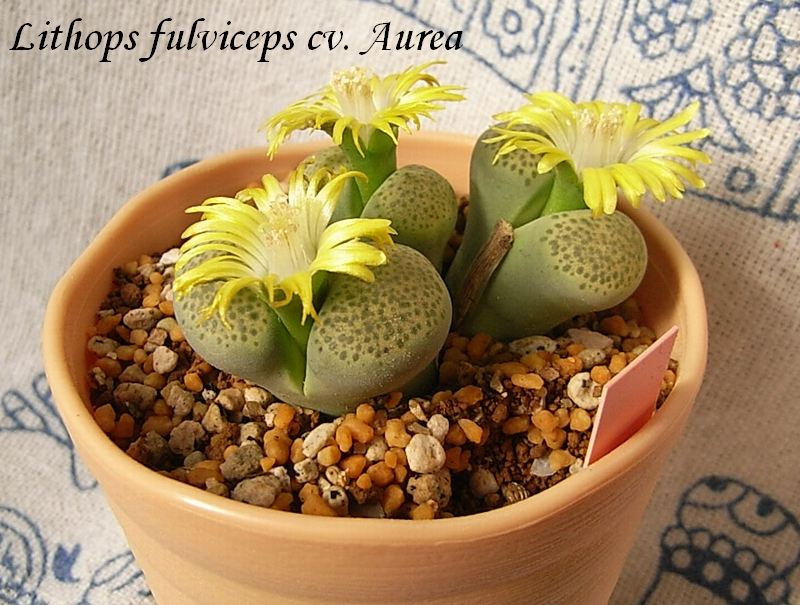Lithops fulviceps cv. Aurea