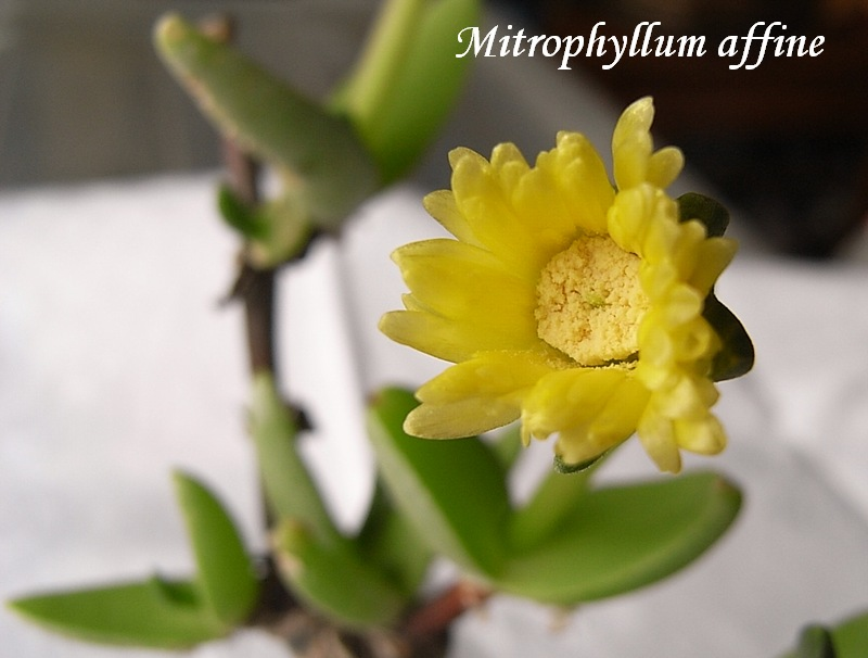Mitrophyllum affine