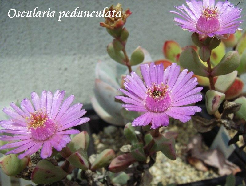Oscularia pedunculata flower
