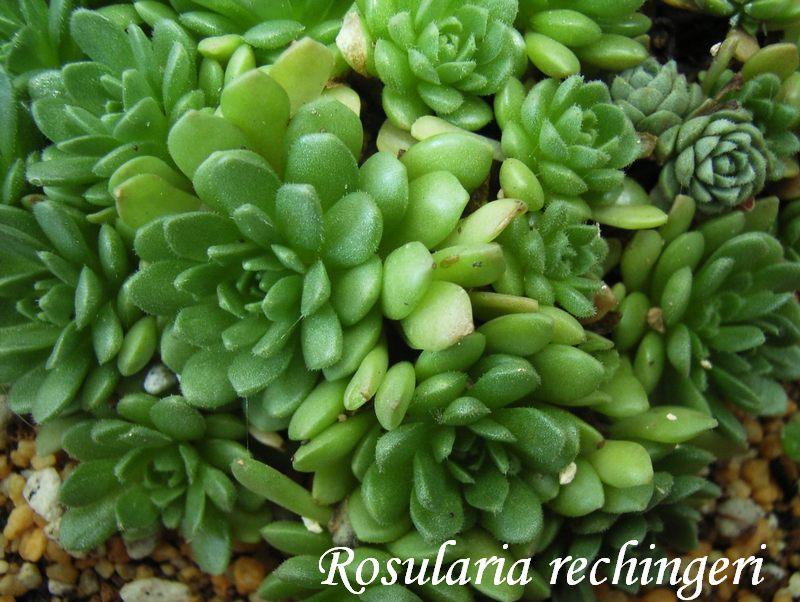 Rosularia rechingeri
