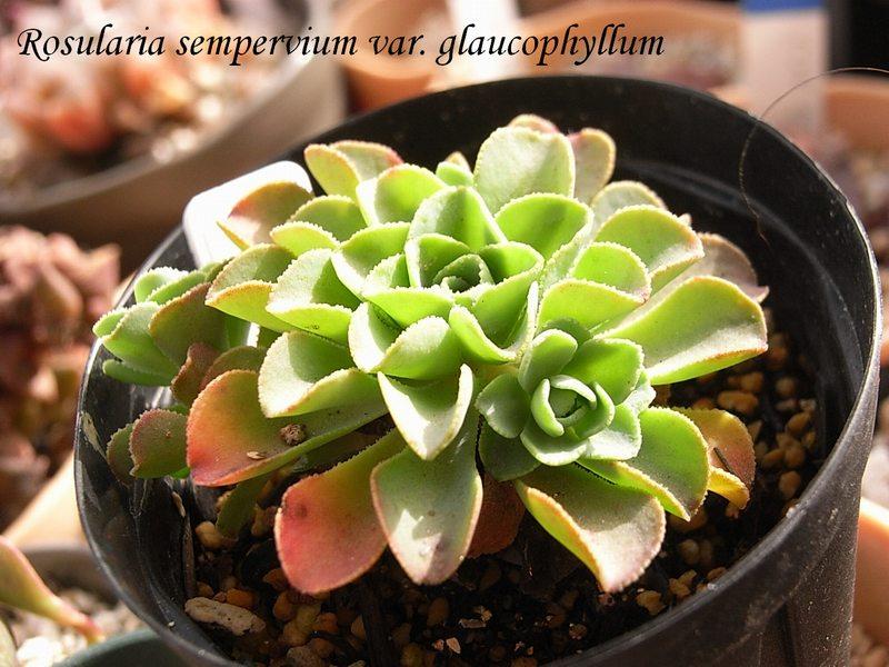 Rosularia sempervivum ssp. glaucophylla