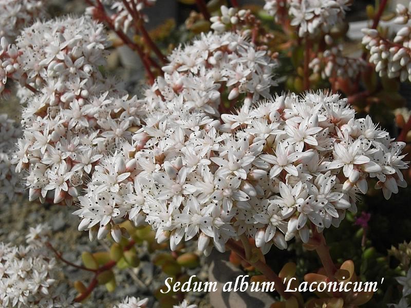 Sedum album 'Laconicum'