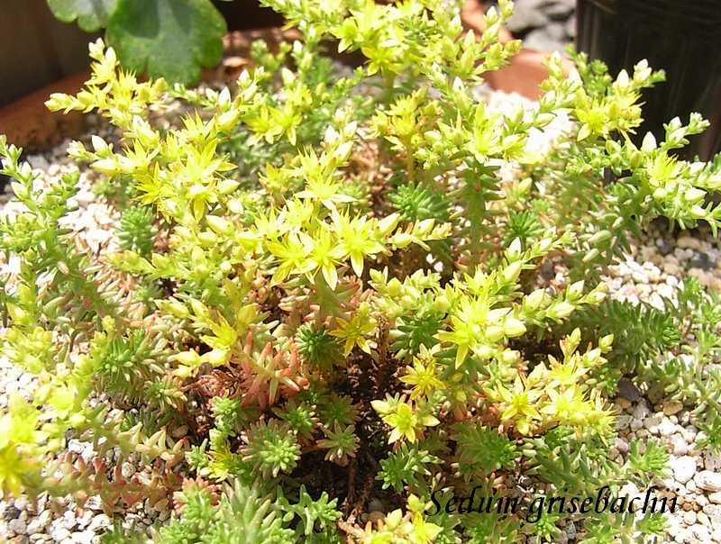 Sedum grisebachii flower