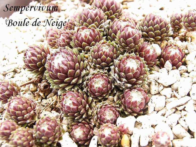 Sempervivum  'Boule de Neije'