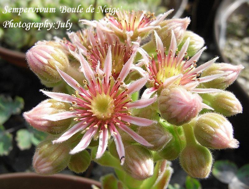 Sempervivum  'Boule de Neije' flower
