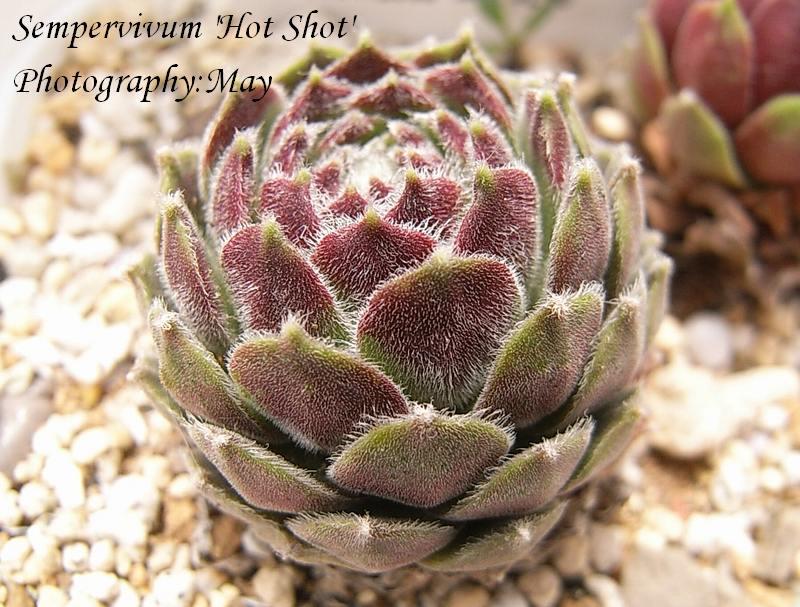 Sempervivum  'Hot Shot'